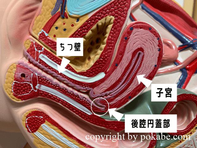 後腔円蓋部の図解
